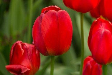 red tulip flower garden.  Spring flowers full frame flowers