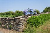 Fotografie Blaue Hortensien in Galicien, Spanien