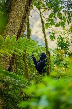 Young mountain gorilla (Gorilla beringei beringei), Bwindi Impenetrable Forest National Park, Uganda.