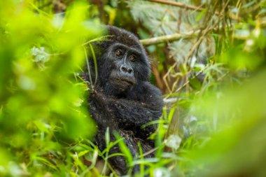 Portrait of a mountain gorilla (Gorilla beringei beringei), Bwindi Impenetrable Forest National Park, Uganda.