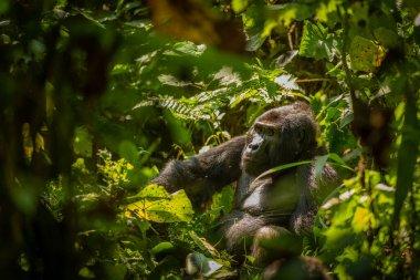 Portrait of a silverback mountain gorilla (Gorilla beringei beringei), Bwindi Impenetrable Forest National Park, Uganda.