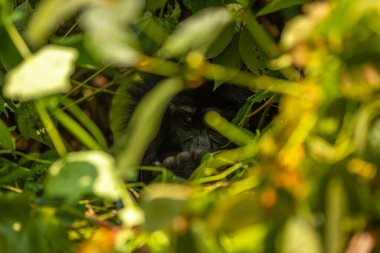 A mountain gorilla hiding (Gorilla beringei beringei), Bwindi Impenetrable Forest National Park, Uganda.