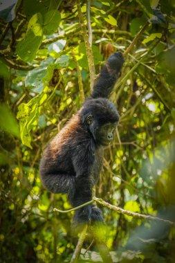 Portrait of a baby mountain gorilla (Gorilla beringei beringei), Bwindi Impenetrable Forest National Park, Uganda.
