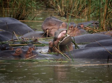 African hippos graze on the open spaces