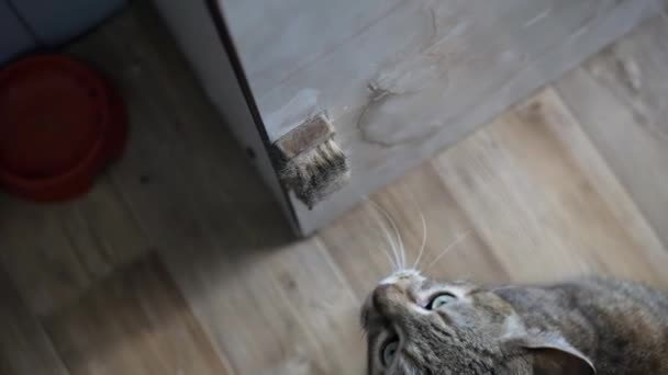 The cat rubs its muzzle against the edge of the table where a special brush is attached for it. Its very good at this.