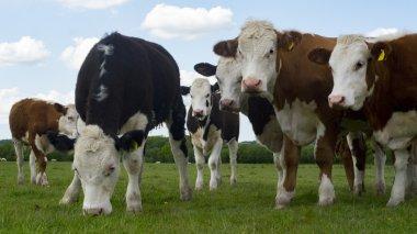 heard of cows