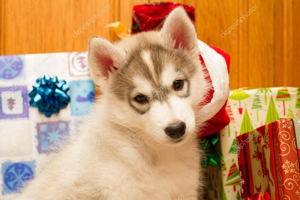 The husky puppy is trying on a hat Santa