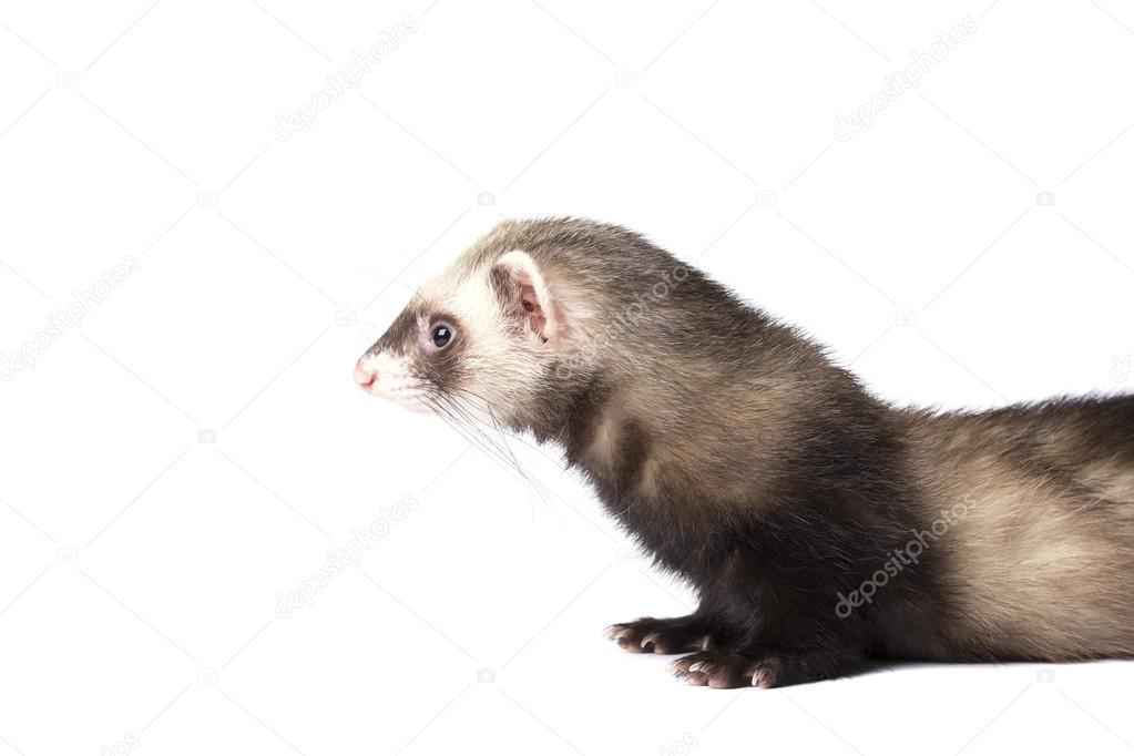 Cute grey ferret