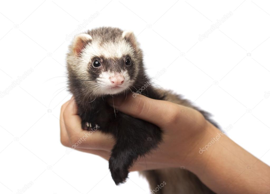Ferret on hands