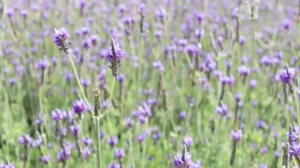 Schöne blühende violette Lavendelblüten, die im Wind wehen, violett duftende Lavendelblüten auf dem Feld. Duftstoff und Aromatherapie-Produkt
