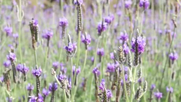 Gyönyörű virágzó lila levendula virágok fúj a szél, ibolya illatú levendula virág a területen. Parfüm összetevő és aromaterápiás termék