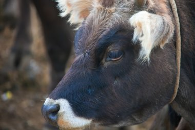 The head of a baby cow closeup