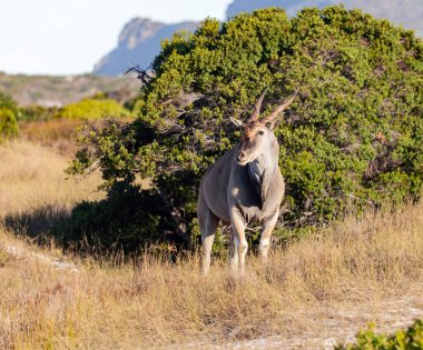 Male eland stood motionless against the background of  bush in the savanna. An adult male of  large screw-horned antelope eland grazes in the natural environment of Africa.