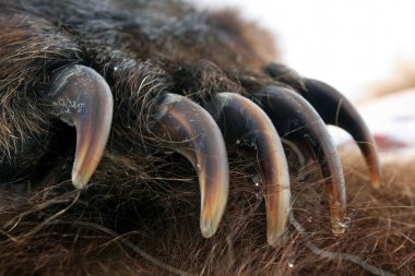 Claws of the bear. The front paw of the bear,