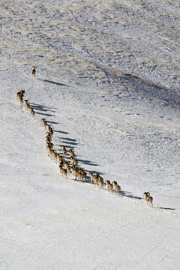 Argali Marco Polo. A flock of sheep Marco Polo in the Tien Shan mountains, in winter, Kyrgyzstan,