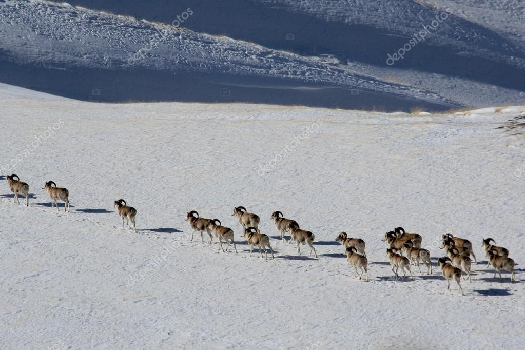 Argali Marco Polo. A flock of sheep Marco Polo in the Tien Shan mountains, in winter, Kyrgyzstan