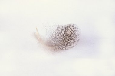 Fluffy soft white striped bird feather  on a white grey background with a abstract sunlight shadow effect with a serene zen atmosphere and empty copy space and a dream effect, the feather is lifting up.