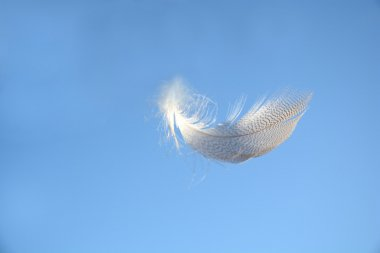 Fluffy soft white striped bird feather floating in the wind in a clear blue sky with a serene zen atmosphere and empty copy space