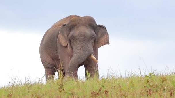 Velký slon na zelené louce v národním parku Khao Yai, Thajsko