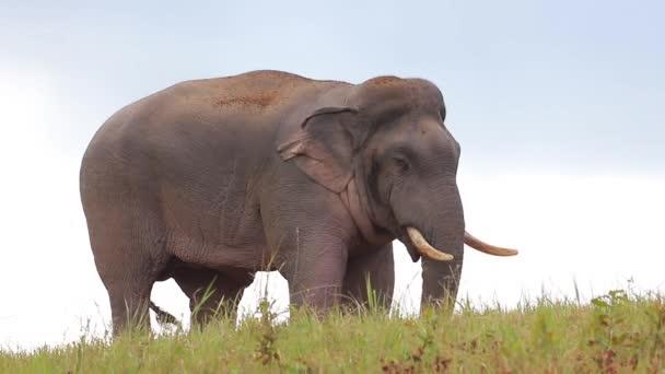 Elefánt egy zöld mezőn Khao Yai Nemzeti Park, Thaiföld