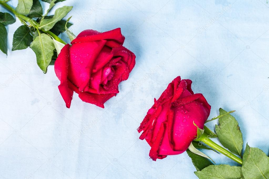 red rose with water drops on background