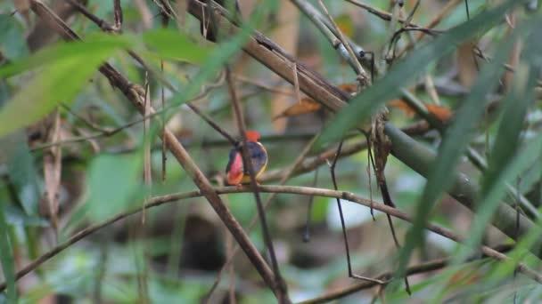 Schwarzrückengeisvogel oder Schwarzrückengeisvogel