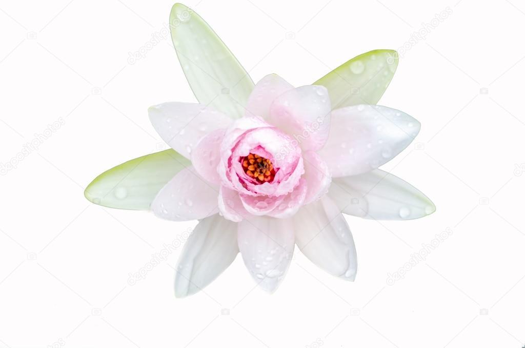 Lotus Blume A schöne weiße mit weißem Hintergrund — Stockfoto © c25 ...