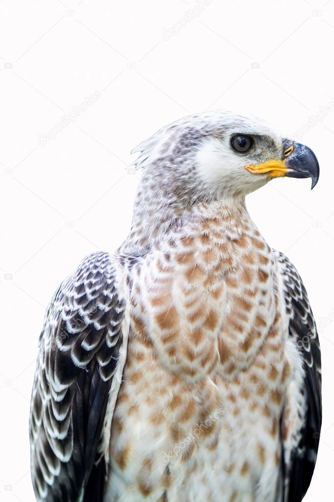 Portrait Of A Eagle Symbol The Hunting Stock Photo C25 82616326