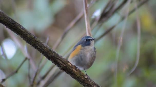 Flycatcher bird, male Snowy-browed Flycatcher