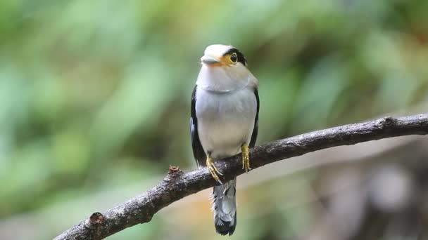 Stříbro breasted Broadbill (Serilophus lunatus) krásný pták