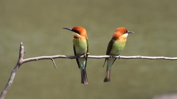 Bird  Bee-eaters (Chestnut-headed)