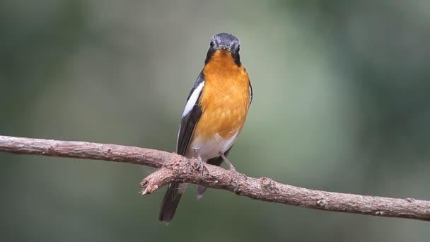 madár (Mugimaki Flycatcher) az ágon