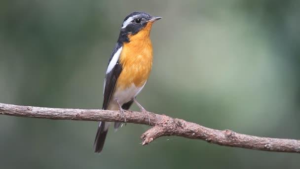 pták (Mugimaki Flycatcher) na větvi