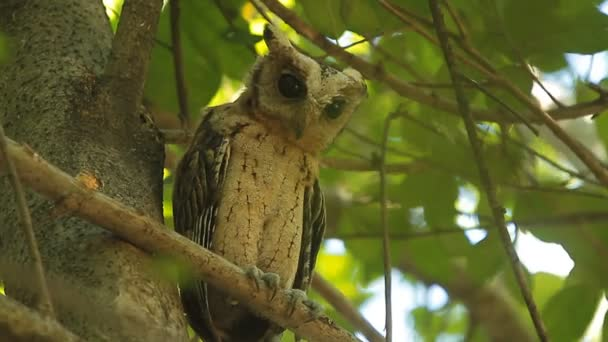 Owl (Spotted owlet)  nature