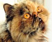 Fotografie Sonya die Katze