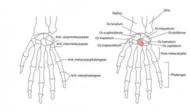 Bones of the left hand, view from below, labeled in Latin. Individually selectable every part, ideal for learning.