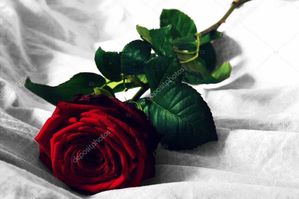 Fotografie Rosa Con Nero Rosa Rossa Con Sfondo Bianco E Nero