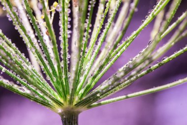 Flower of green dill (fennel). Green background with drops