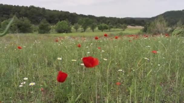 blooming poppy field in spain