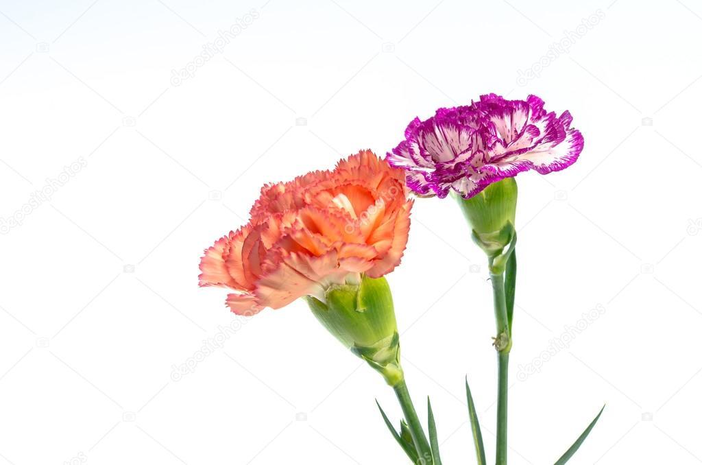 Zwei Nelke Blumen entwerfen isolierten auf weißen Hintergrund ...
