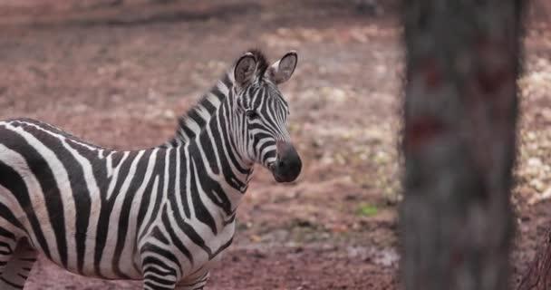 Csodálatos kilátás nyílik a Zebra a Gaziantep Állatkert. 4K felvételek Törökországban