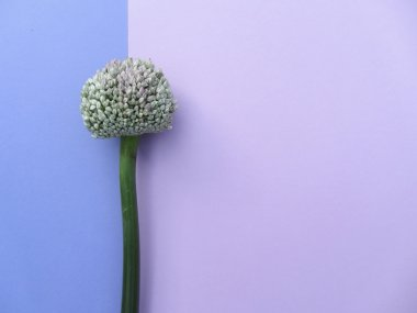 Bolls of decorative onion macro backlighting. Card.