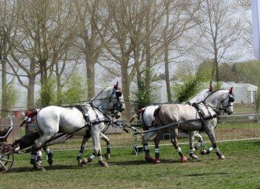 Team of Percheron Horses Running. Copy Space