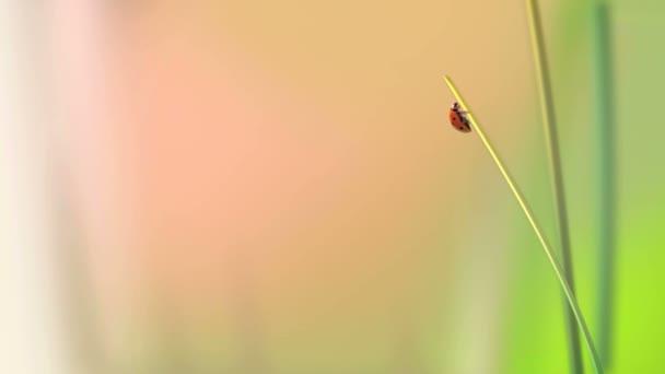 procházení berušky v trávě ukazuje nadcházející jaro