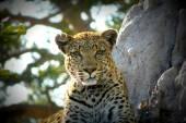 Fotografie Leopards portrait in Pom Pom Island private game reserve, Okavango Delta, Botswana, Africa