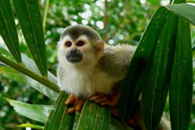Lovely squirrel monkey in Manuel Antonio National Park, Costa Rica