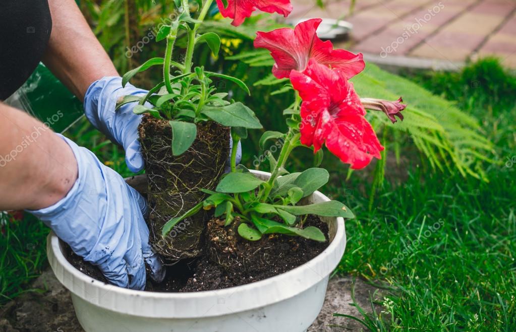 Primavera decoración de jardín. Plantar flores en macetas — Foto de ...