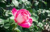 Delicate green rose. Sort Of Flamingo