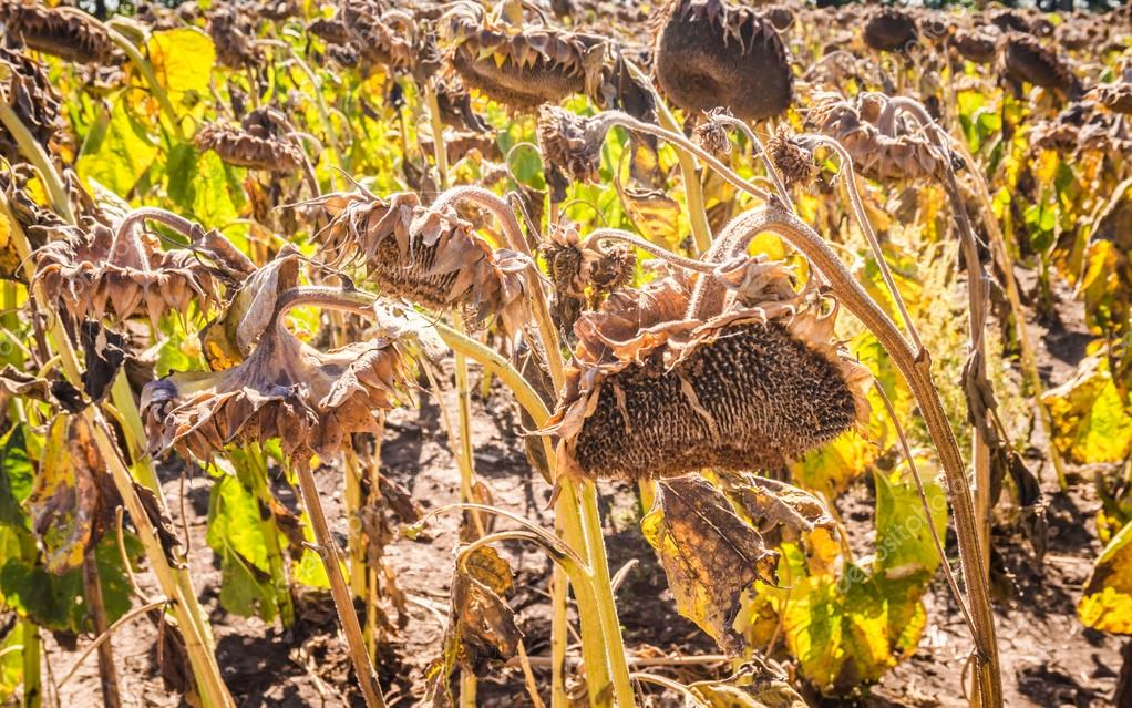 A ripe harvest of sunflowers