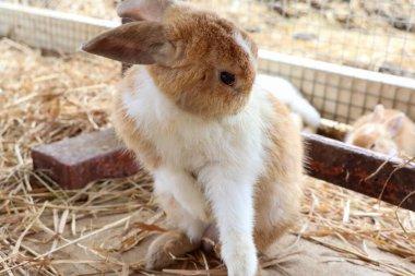 A cute rabbit on the farm